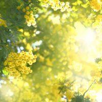 ミモザのアレンジで春を感じよう♪